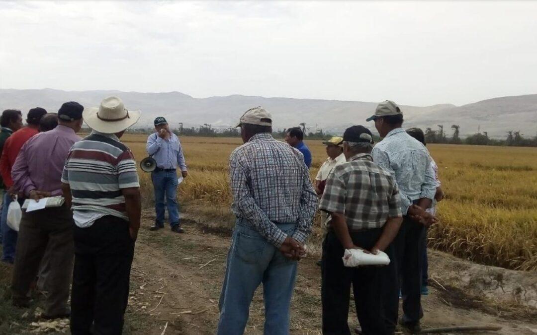 Agricultores de Arequipa mejoran rendimiento y calidad de cultivo de arroz